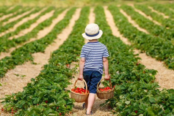 Boy in a strawberry field